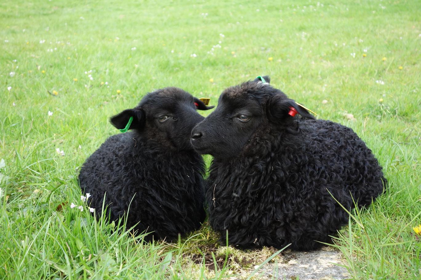 Black Sheep Dr Jonice Webb